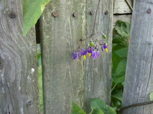 flour would steal, flower wood steel, nails in a weeathered fence with a purple and yellow flower growing over it