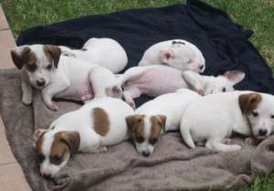 7 Jack Russell Terrier Puppies on a blanket (I think there are 7)