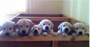 six puppies peeking over a wall